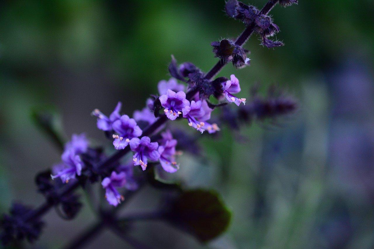 Basilico fiori