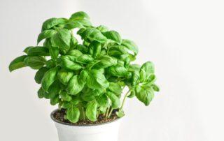Come coltivare e conservare il basilico