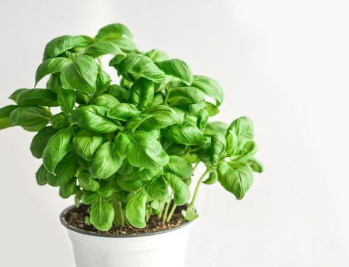 Come coltivare e conservare il basilico. Proprietà, benefici e usi in cucina