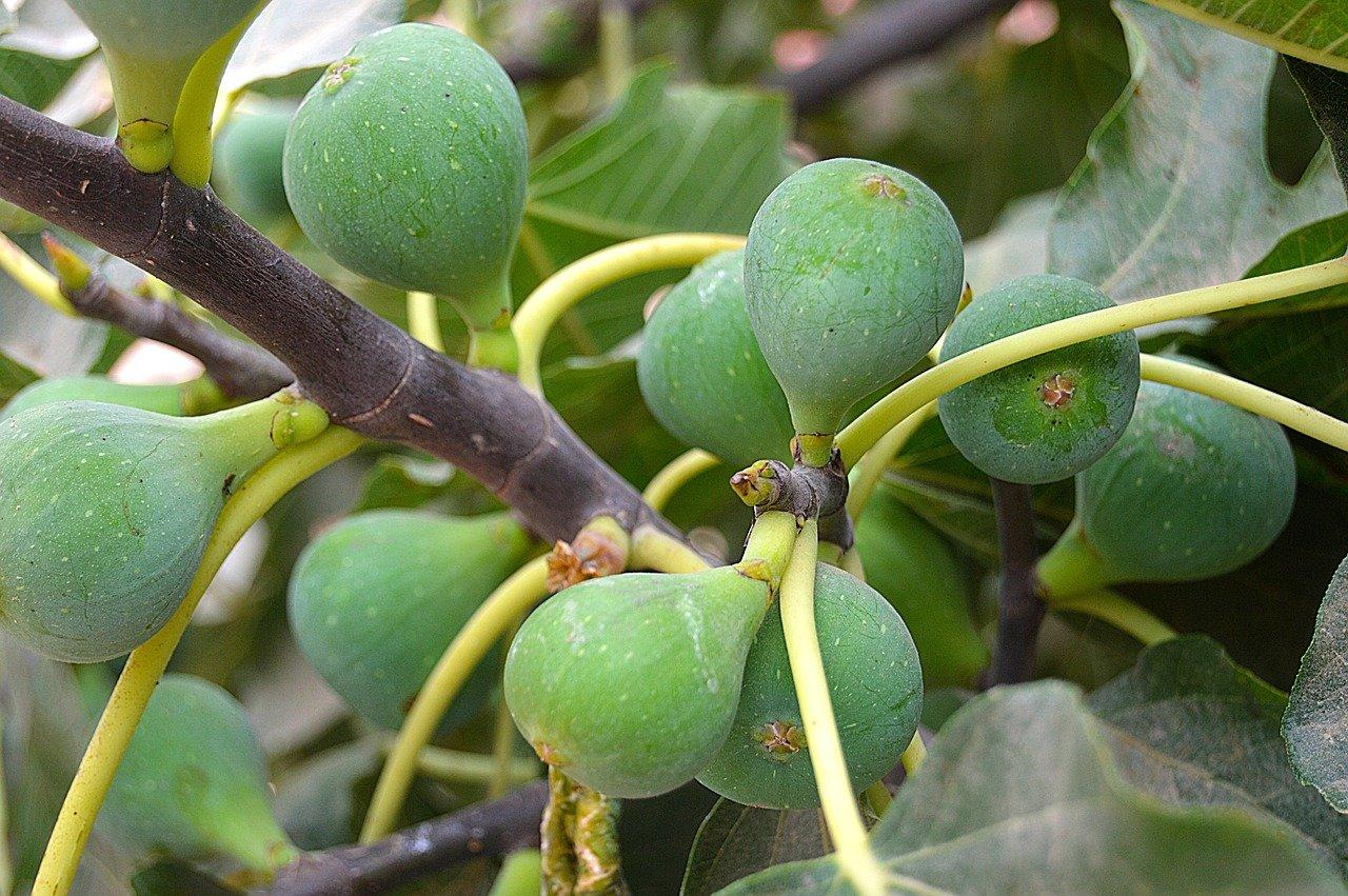 I fichi verdi sulla pianta